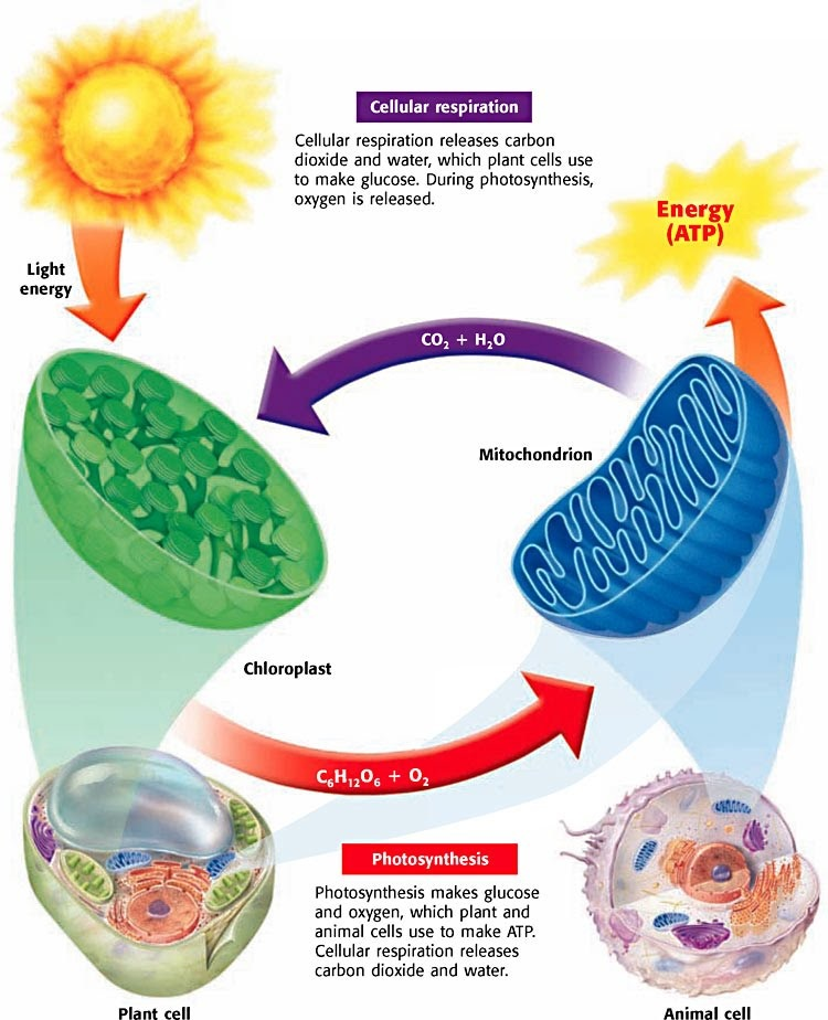 Orise Lesson Plan Just Breathe An Introduction To Photosynthesis