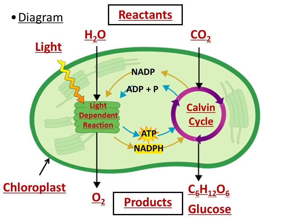 photosynthesis reactants light dependent cycle calvin reaction diagram chloroplast goes comes cell energy respiration notes weebly